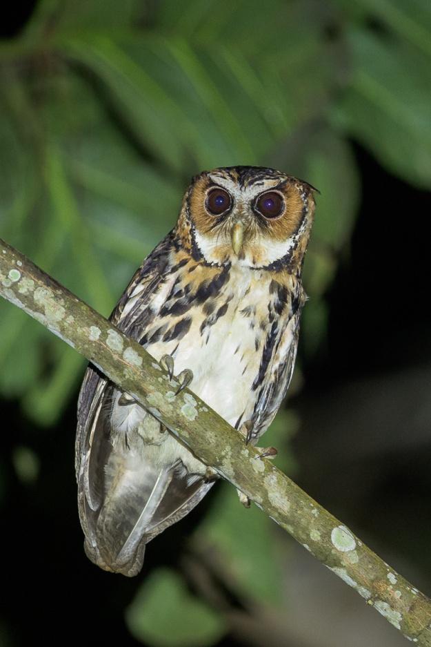 Giant Scops Owl