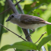 Mangrove Whistler